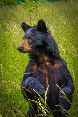 Black Bear Standing-Smoky Mountains National Park (Ron Harbin Photography) Tags: bear park wild mountains beautiful standing national smoky powerful