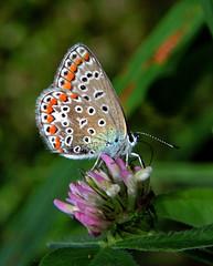 Don't worry, be happy,,,buona settimana a tutti ,, good week (ermenegildore) Tags: flowers flower macro nature butterfly butterflies natura fiori fiore farfalla trifolium farfalle