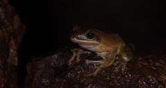 DSC_1394 (akkythegunner) Tags: macro green nature photography snake wildlife insects frogs viper herp herps matheran naturephotography macrophotography catsnake greenvinesnake bamboopitviper