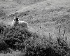 Keeping an eye on you (p2-r2) Tags: uk flowers england blackandwhite film grass rollei goal nikon district derbyshire peak retro 100 tor mam bushes fa nikkor105mmf25ai