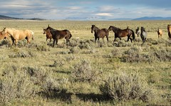 Horses.  Montana.2 (montanatom1950) Tags: horses montana sage sagebrush helenamontana