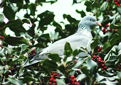 Autumn Dove (ekaterina alexander) Tags: pictures wood autumn england tree bird nature gardens garden photography sussex pigeon dove national trust alexander nymans columba columbidae ekaterina palumbus