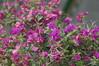 DSC09647 (oliveplum) Tags: plant flower butterfly singapore bokeh sony bougainvilleas overheadbridge fouroclockflower thomsonroad summicronr1250