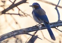Western Scrub Jay (sjsimmons68) Tags: california bird animals jay favorites western fav jays crows scrub westernscrubjay runyoncanyonpark crowsjays uslocations jayandcrow