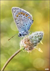 Dispuesta a  saltar (- JAM -) Tags: naturaleza flower macro nature insect nikon flor explore jam mariposas d800 insecto macrofotografia explored lepidopteros juanadradas