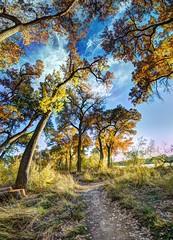 The Rio Grande Bosque in Albuquerque (JoelDeluxe) Tags: november blue panorama orange brown newmexico green fall yellow river landscape albuquerque bosque nm joeldeluxe willows hdr riogrande cottonwoods 2015 nhcc southofbridge