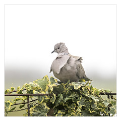 AR157953-B (-AR-) Tags: bird kitchen fence garden wind dove feathers tuin keuken vogel hek duif eurasiancollareddove streptopeliadecaocto veren tortelduif turksetortel