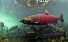 Giant Coho Salmon (Fish as art) Tags: fish ecology fishes poisson fiske underwaterphotography alaskasalmon saumon fisheries lachs unterwasserfotografie cohosalmon oncorhynchustshawytscha oncorhynchuskisutch oncorhynchusnerka britishcolumbiasalmon paulvecseiphotography salmonriversoncorhynchuskisutch