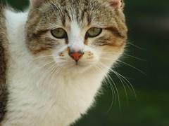 Arthur (pbarcalal) Tags: wild mammal gato felino gatto mamifero