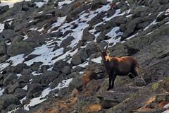 Val d'Aosta - Valsavarenche, curiosita' giovanile... (mariagraziaschiapparelli) Tags: autunno montagna valdaosta escursionismo camminata stambecco valsavarenche meye pngp allegrisinasceosidiventa