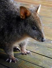 Waiting patiently (LeelooDallas) Tags: australia tasmania snow cradle mountain national park marsupial wallaby animal landscape dana iwachow nikon coolpix s9100