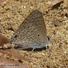 Pointed cilliate blue (LPJC) Tags: d11 kerala india 2015 lpjc butterfly pointedcilliateblue anthenelycaenina