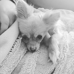 Pomchi (Heidi's Journey/ PassionMama) Tags: pomchi dog heidisjourney pomeranian chihuahua