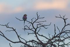 DSC_5475 (mylesm00re) Tags: africa coraciascaudatus gewonetroupant lilacbreastedroller limpopo welgevondengamereserve za bird southafrica