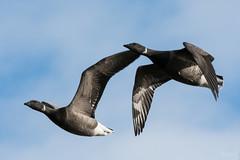 Brent geese (Shane Jones) Tags: brentgoose goose bird birdinflight wildlife nature nikon d500 200400vr tc14eii