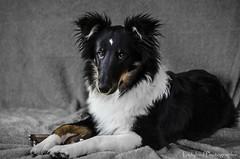 Shetland Sheepdog (ladybird13420) Tags: dog maki berger shetland chien sheepdog chiot portrait tricolore nikon d5100 puppy femelle female shelti