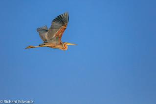 Purple Heron In Flight - * Explore