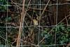 Record shot of female type Red-flanked Bluetail (Tarsiger cyanurus) - Comox, BC (bcbirdergirl) Tags: femaletype immature rfbl recordshot comox bc vancouverisland secondrecordforbc secondrecordforcanada 7threcordforabaoutsidealaska rare rarity lazowildlifepark tarsigercyanurus orangeflankedbushrobin passerine oldworldflycatcher mega megararity determined redflankedbluetail female