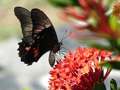 Borboleta (Tony Gomes) Tags: brasil brazil borboleta lepidoptera butterfly inseto insetos insect insects bug borboletas butterflies