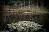 Lily Pond (Scrufftie) Tags: pond photoshopcc landscape flowers compactcamera lillies australia canong7x water launcenston canon tasmania lightroom colour