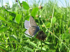 Argus-Bläuling - Plebejus argus - Silver-studded blue (elisabeth.mcghee) Tags: argusbläuling plebejusargus plebejus argus silverstudded blue butterfly schmetterling