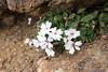 北岳登山 (GenJapan1986) Tags: 2016 南アルプス市 山梨県 旅行 登山 日本 japan mountain yamanashi travel fujifilmx70 flower