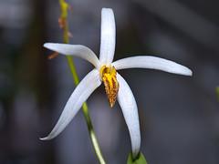 Dendrobium (Epigeneium) cacuminis (Eerika Schulz) Tags: epigeneium cacuminum dendrobium cacuminis eerika schulz