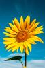 The Sunflower legend (Albymus) Tags: sunflower sky clouds flower flora legend nature love sun mist fog apollo nymph clizia van gogh admiration