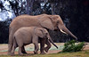 Adult Elephant With Calf (Patrick James Colorado) Tags: sandiegozoo animals sandiego elepahntcalf elephapntbaby calf baby sandiegozoosafaripark animal