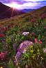 Wildflower Sunburst On Stony Pass (Mike Berenson - Colorado Captures) Tags: colorado nature sanjuanmountainrange sanjuans flowers wildflowers sunset sunbeams mountains