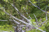 Järpe, Borgafjäll, Lappland, Juni 2017 (Gavia_Stellata) Tags: aves birds fågelungar fåglar fåglarövrigt järpe skogsochfälthöns hazelgrouse bonasabonasia
