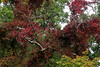 virginia creeper (ophis) Tags: vitales vitaceae parthenocissus parthenocissusquinquefolia virginiacreeper