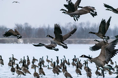 Fly Away (tquist24) Tags: canadagoose fiddlerpond goshen indiana nikon nikond5300 outdoor bird cold flock frozen geese goose ice pond winter unitedstates