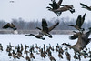 Fly Away (tquist24) Tags: canadagoose fiddlerpond goshen indiana nikon nikond5300 outdoor bird cold flock frozen geese goose ice pond winter unitedstates
