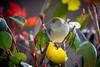 Madame fauvette (Oric1) Tags: tamron sp 150600mm f563 di vc usd 22 canon côtesdarmor france armorique bird breizh bretagne brittany eos fauvette femelle fruit oiseau pomme tamronsp150600mmf563divcusd oric1 jeanlucmolle