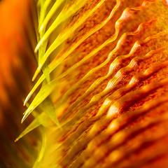 Nepenthes singalana peristome (Hejemoni (@fbauzonx on Instagram)) Tags: nepenthes singalana macro ridges texture color colors yellow orange plants carnivorous nature gardening strobist sigma 105mm lines