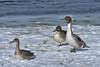 Canard pilet --- Northern pintail ---  Anade rabudo (Jacques Sauvé) Tags: canard pilet northern pintail anade rabudo mâles femelle