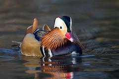 Mandarin Duck (Simon Stobart (Away for a Week)) Tags: mandarin duck male swimming water lowshot