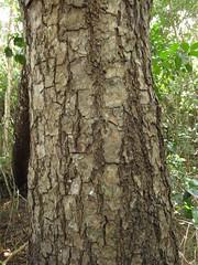 Swietenia mahagoni (bark) - Meliaceae (Kerry D Woods) Tags: evergladesnationalpark mahoganyhammock swieteniamahagoni meliaceae