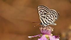 Tarucus balkanicus (KOMSIS) Tags: kelebek butterfly schmetterlinge papillon farfalle borboleta mariposa vlinder leptir πεταλούδα лептир пеперутка көбелек kəpənək ผีเสื้อ fluture fiðrildi fjärilar dagfjärilar féileacán conbướm päiväperhonen perhonen бабочка bábochka motyl motýlů motýlech motýl motýľ animal animalia arthropoda insecta lepidoptera lycaenidae tarucusbalkanicus littletigerblue balkankaplanı minimalism macro blackberryflower wildlife outdoor field serene pattern plant blossom nikon nikond300 nikkor 105mm vr ngc buzznbugz colors colorfull catchycolors visipix insect فراشة