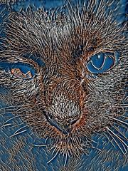 Blue Assam (sjrankin) Tags: 29january2017 edited processed filtered california northerncalifornia closeup animal cat assam arabic sign