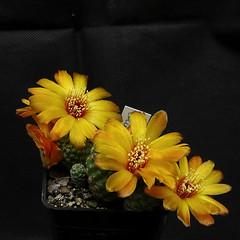 Sulcorebutia callecalensis L389 083' (Pequenos Electrodomésticos) Tags: cactus cacto flower flor sulcorebutia sulcorebutiacallecalensisl389
