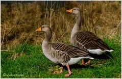 Partnership (lukiassaikul) Tags: wildlifephotography wildbirds wildanimals fauna largebirds goose geese greylaggoose