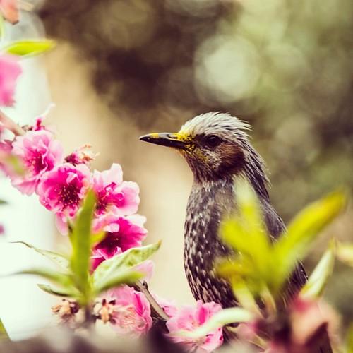 #latergram #sakura #hanami #tokyo #bird #fitzaroundtheworld #japan
