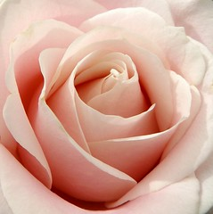 passion or purity? (kenman2010) Tags: rose symbol passion purity viriginity fertility death life