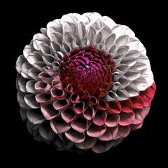 Dahlia (Pixel Fusion) Tags: dahlia flower flora nature macro nikon d600