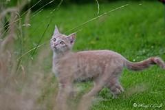 IMG_5389 (Memory's of LylaJo) Tags: chat chaton cat baby babycat