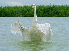 Esibizione (marypink) Tags: summer sky bird water swan estate pov evolution natura cielo focusing cigno laghidimantova fiumemincio nikkor80400mmf4556 nikond7200