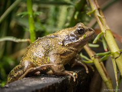 Common Frog (Mr Aylesbury) Tags: uk summer england lumix pond wildlife amphibian panasonic 2015 commonfrog dmcgh3 karlvaughan
