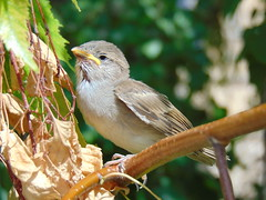 Relaxed Bird (markelsaez) Tags: naturaleza cute bird nature animals countryside sparrow campo animales pjaro gorrin